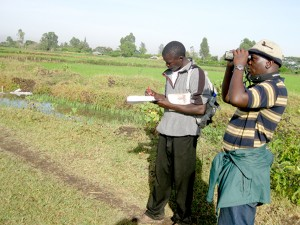 My latest project (2013-2014) involved estimating the economic value of losses to farmers due to rice damage caused by Red-billed Quelea birds at a rice irrigation scheme in western Kenya.
