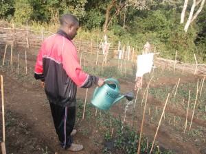 Watering a research plot of vegetable with biogas fertilizer application.