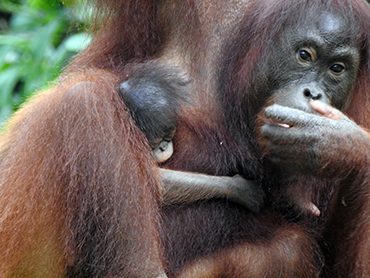 Bornean Orangutan Pic